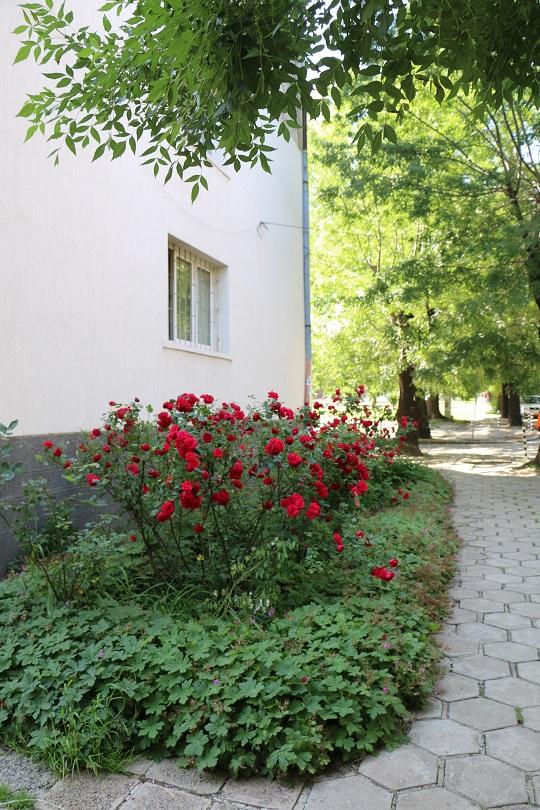 Sofia roses