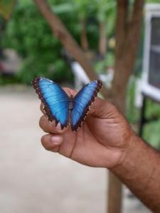Сен-Мартен, ферма бабочек. St.Martin Batterfly Farm