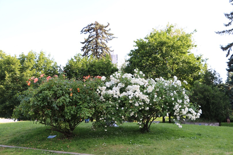 Sofia blooming trees